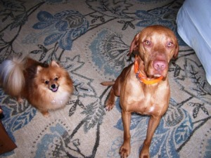 My fur children, Beazer the Pom and Chili the Vizsla.